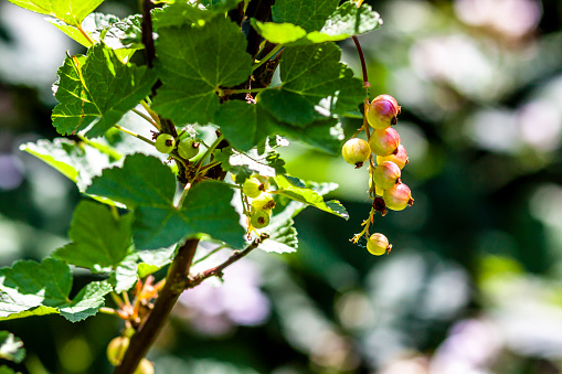 Closeup Of Gooseberries Turning From Green To Red - Fotografias de stock e mais imagens de Agricultura
