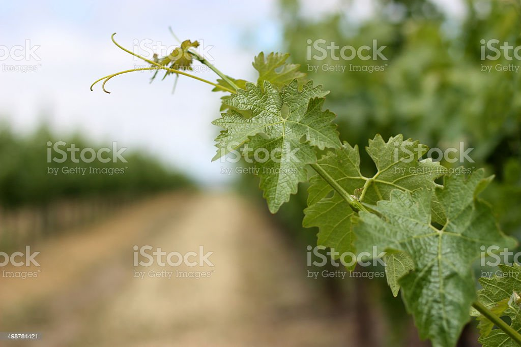 Closeup of grape vine leaves in Napa Valley stock photo