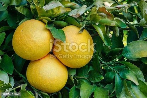 Close-up of grapefruit ripening on tree.  Taken In Gustine, California, USA