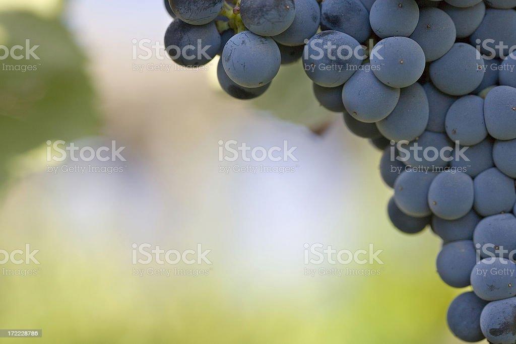Closeup of Grapes royalty-free stock photo