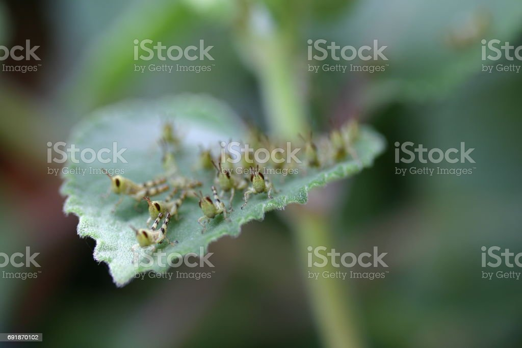 Close-up of Grasshopper Nymph on herb leaf stock photo