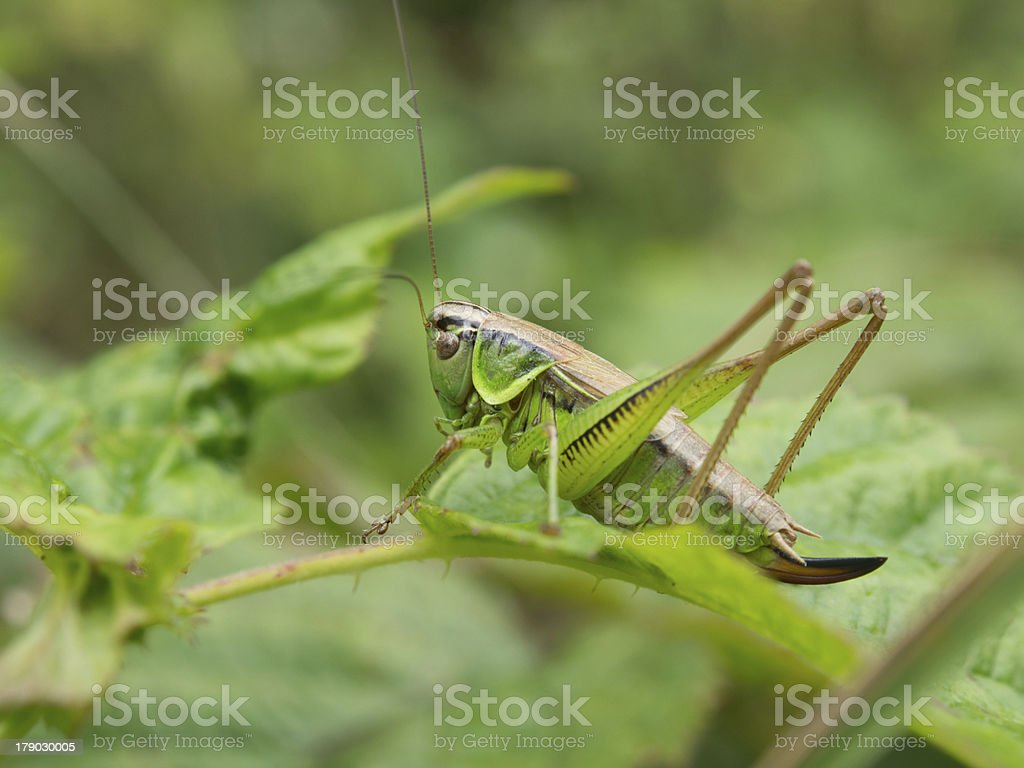 Closeup of grasshopper on leaves royalty-free stock photo