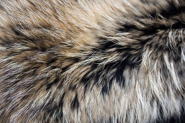 close-up of gray black brown luxury animal fur - 皮草 個照片及圖片檔