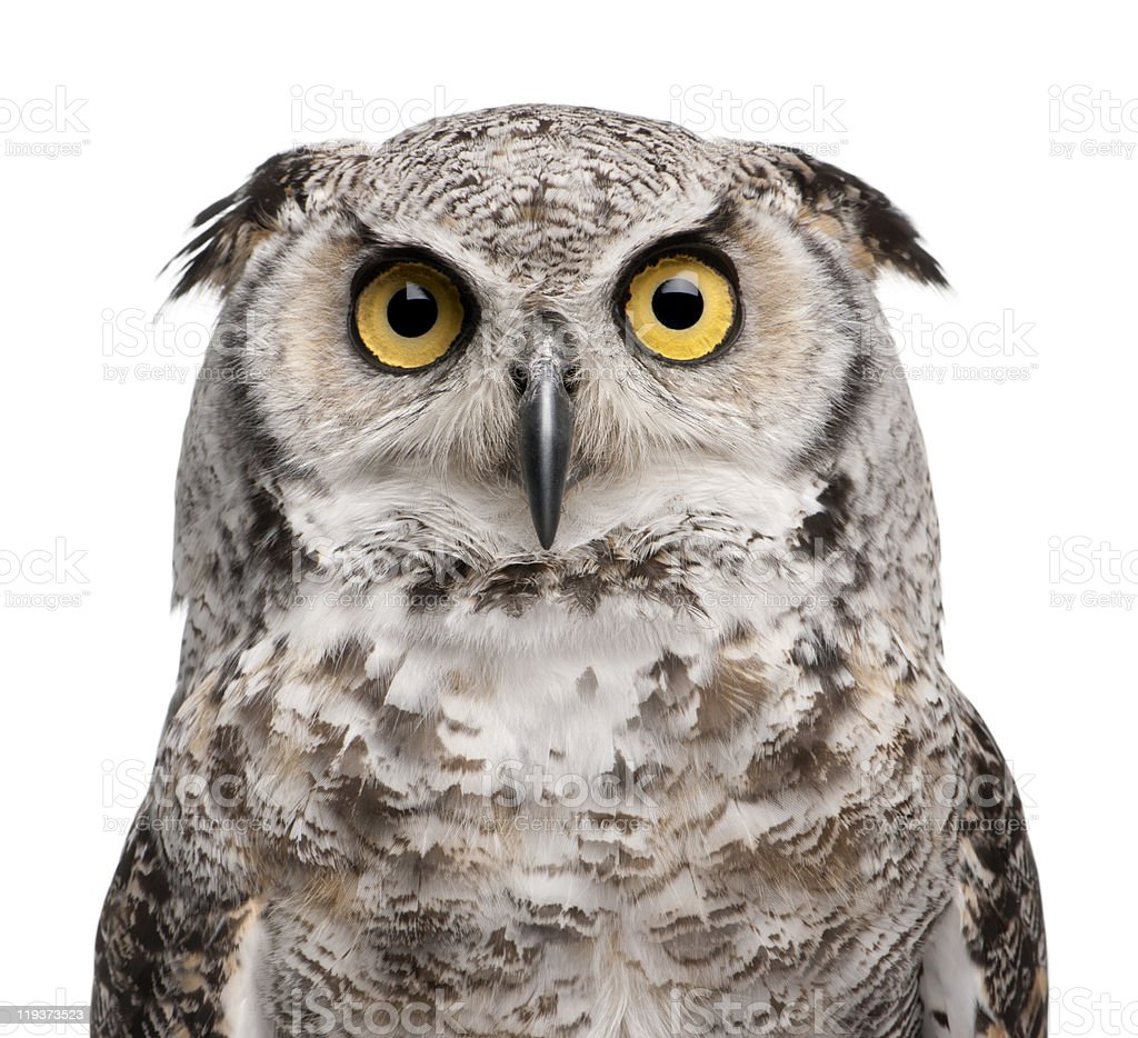Close-up of Great Horned Owl, Bubo Virginianus Subarcticus. stock photo