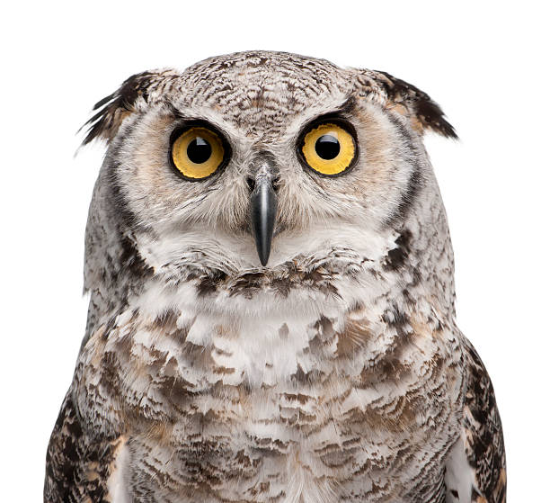 close-up of great horned owl, bubo virginianus subarcticus. - amerikaanse oehoe stockfoto's en -beelden