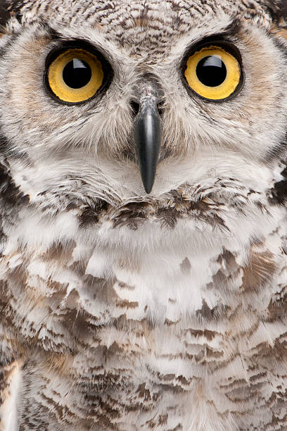 Best Owl Face Stock Photos, Pictures & Royalty-Free Images ...