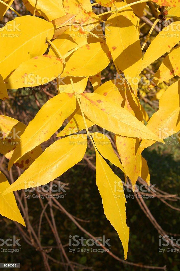 Closeup of Green Ash Fall Leaves royalty-free stock photo