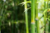 Closeup of green bamboo trees