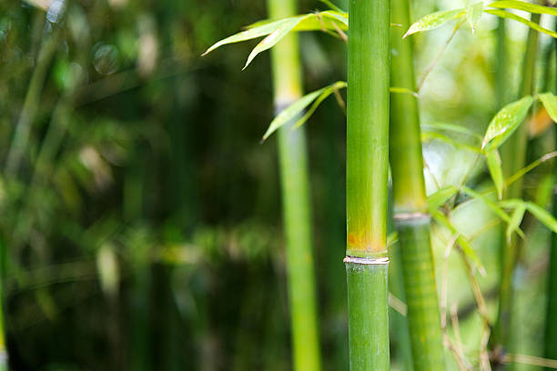 Closeup of green bamboo trees圖像檔