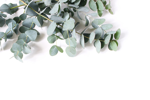 Closeup of green eucalyptus leaves and branches isolated on white table background. Modern floral composition, botanical frame, banner. Feminine styled stock image. Flat lay, top view.