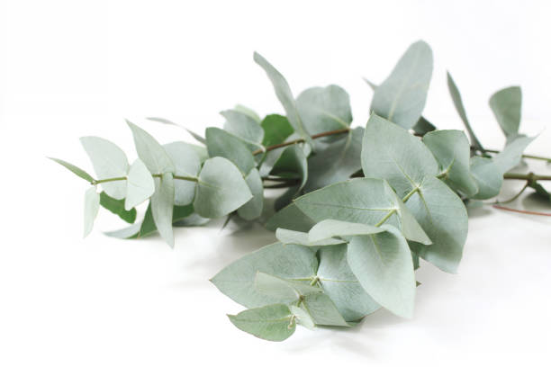 Closeup of green eucalyptus leaves branches on white table background. Floral composition, feminine styled stock image. Selective focus. stock photo