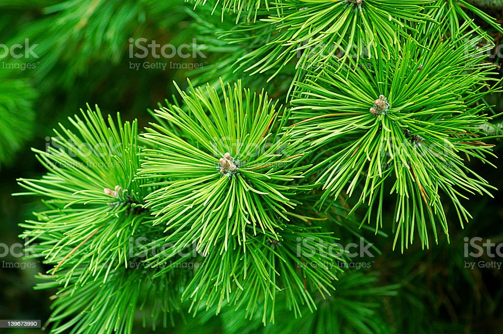 Close-up of green for tree branches royalty-free stock photo