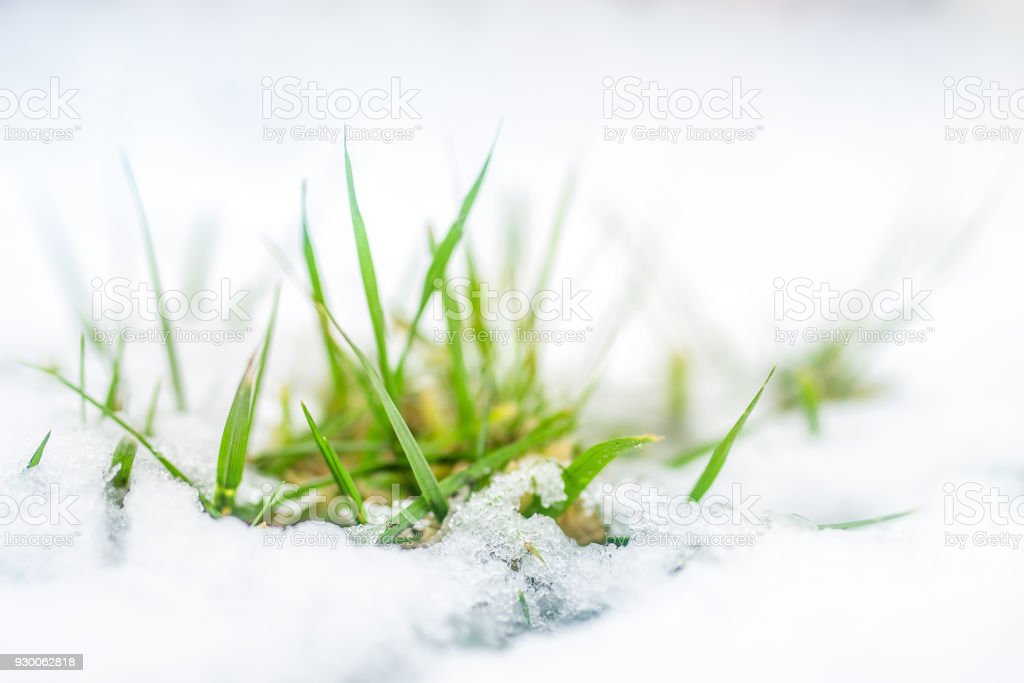 Closeup Of Green Grass Sprout Through Snow Cover Beginning Of Spring