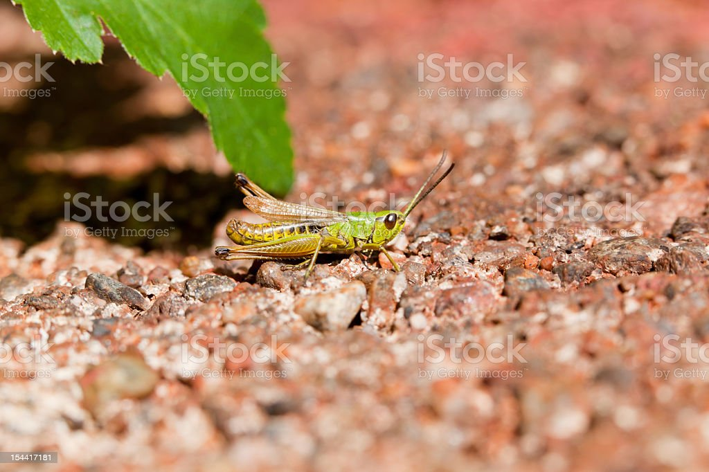 Close-up of green grasshopper on red gravel royalty-free stock photo