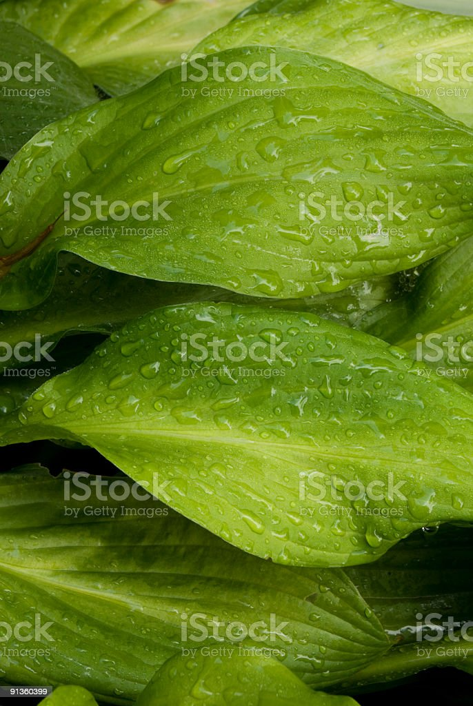 Close-up of green Hosta leaves with water drops royalty-free stock photo