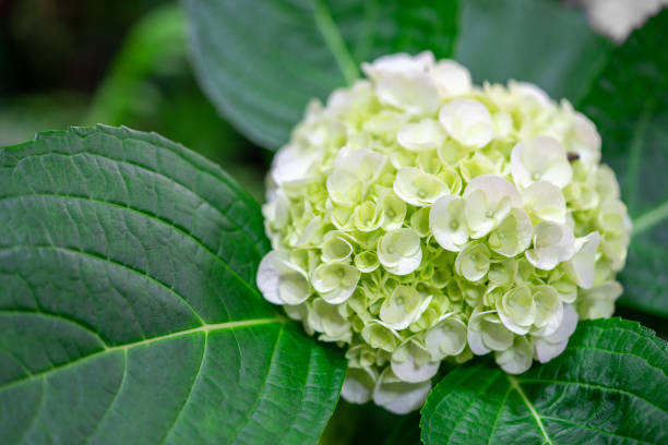 """closeup of green hydrangea (hydrangea macrophylla) are blooming in spring and summer at a town garden. the japanese call this """"ajisai flower"""". - hortensja zdjęcia i obrazy z banku zdjęć"""