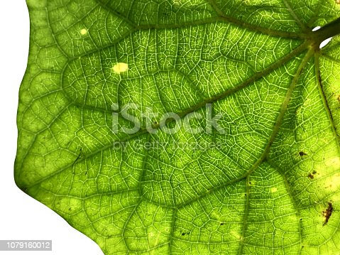 175407085istockphoto Closeup of green leaf detail from behind with white isolated background. 1079160012