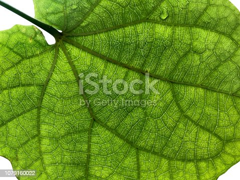 175407085istockphoto Closeup of green leaf detail from behind with white isolated background. 1079160022