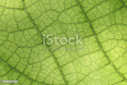 Closeup of green leaf with veins