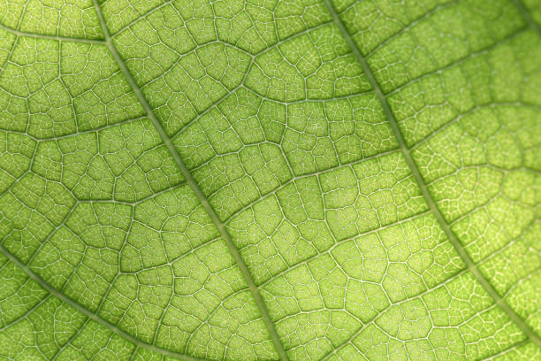 Closeup of green leaf Closeup of green leaf with veins chlorophyll stock pictures, royalty-free photos & images