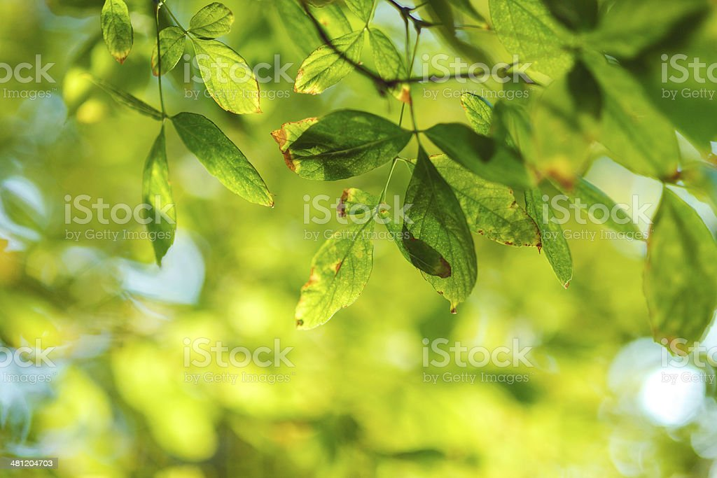 Close-up of green leafs royalty-free stock photo