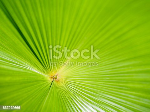 Closeup of Green leaves texture background of Licuala pelota Roxb