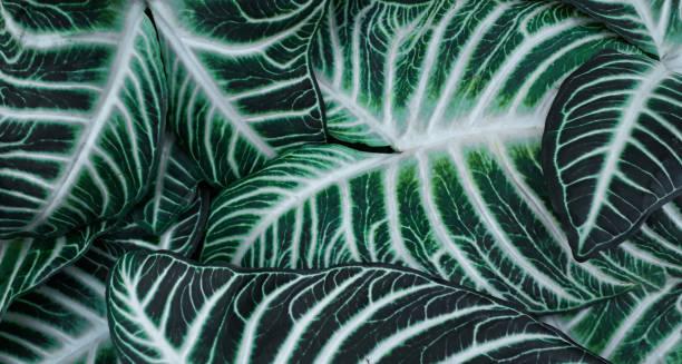 a closeup of green leaves with white stripes - padrões zebra imagens e fotografias de stock