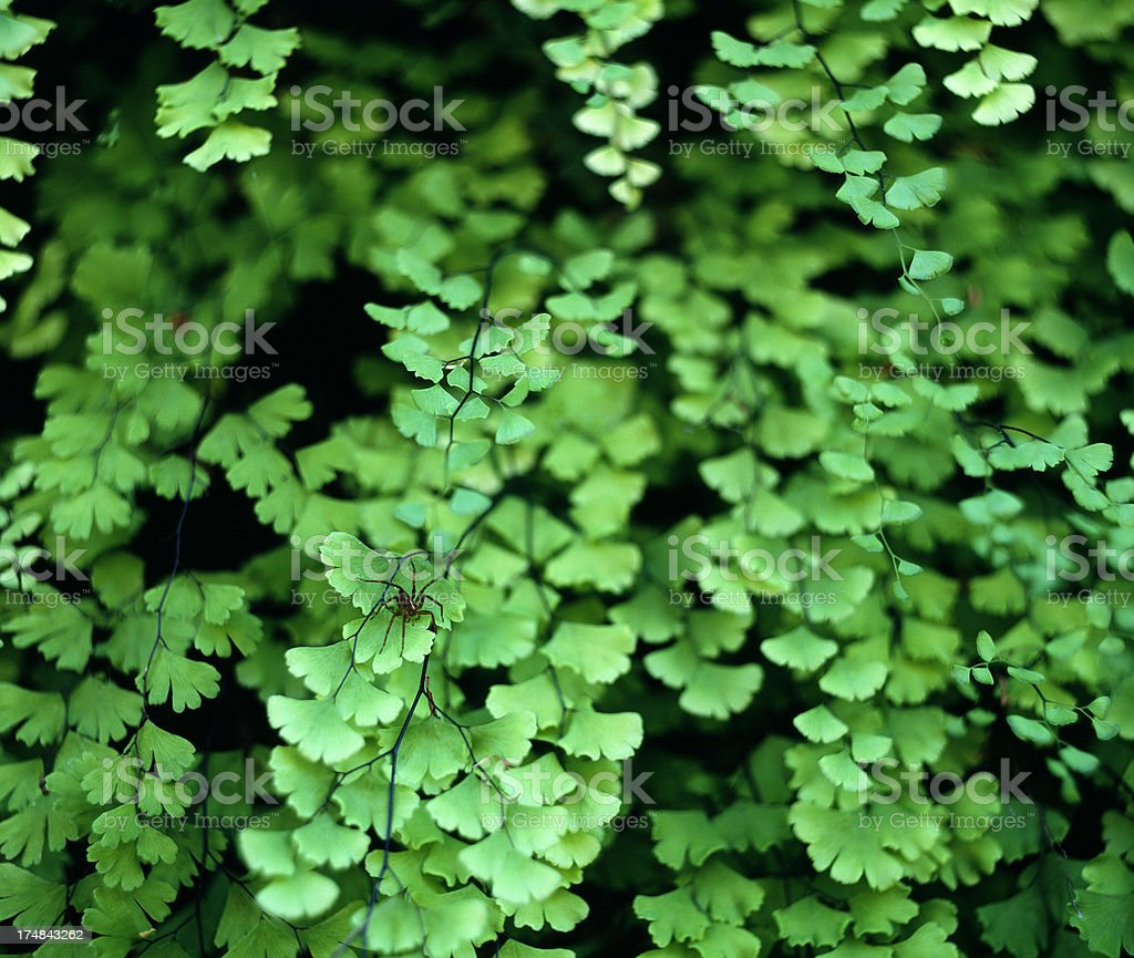 Closeup of green Maidenhair Fern leaves. royalty-free stock photo