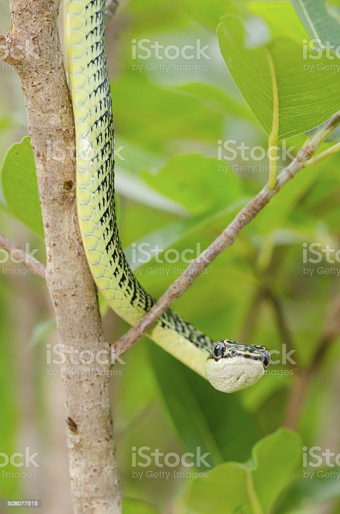close-up of green mamba snake on tree, tropical forest, Thailand stock photo