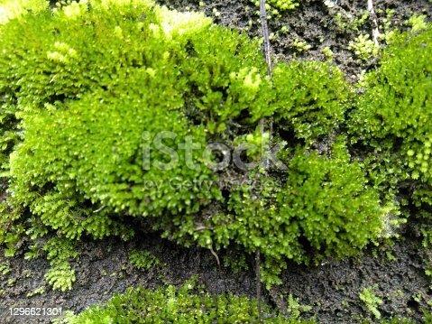 istock Closeup of green moss on wall 1296621301