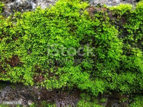 istock Closeup of green moss on wall 1296621312