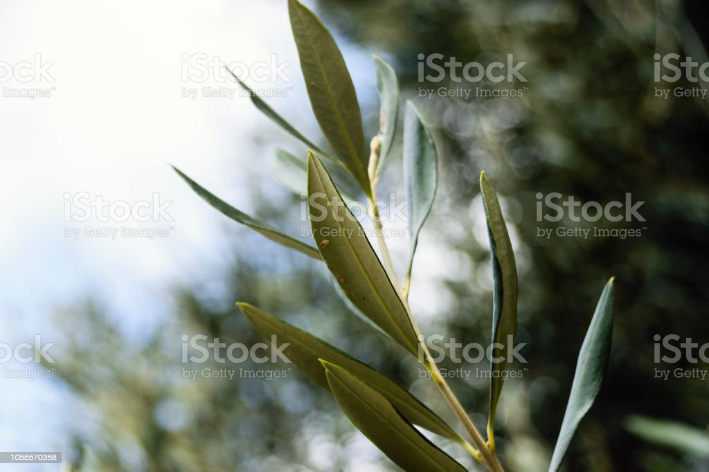 Close-Up Of Green Olive Branch Against Sky In Summer stock photo