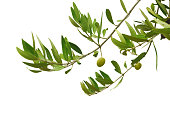 Olives on the branch. Isolated on white.