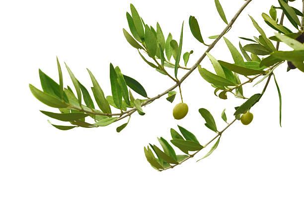 verde oliva rami - ramoscello d'ulivo foto e immagini stock