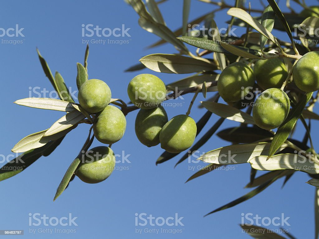 Close-up of green olives on a leafy branch royalty-free stock photo