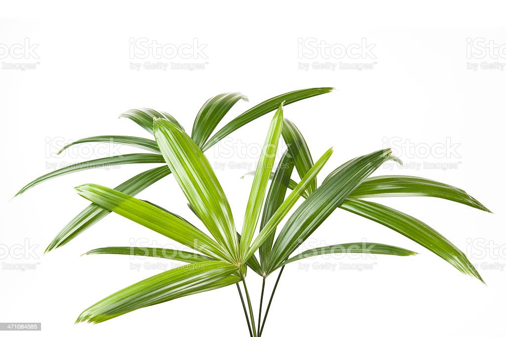 Close-up of green palm leaves isolated on white background stock photo