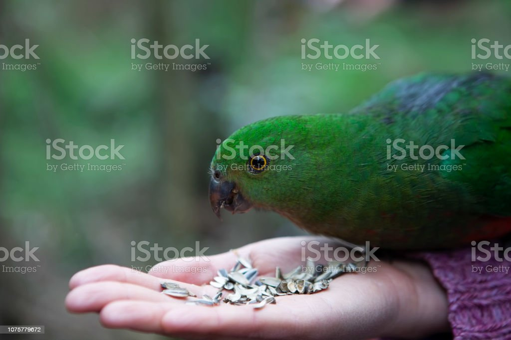 Closeup of green parrot eating on female hand stock photo