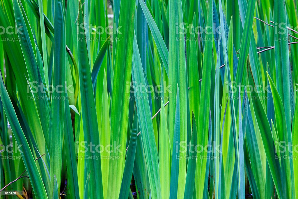 Close-up of green reeds growing upward stock photo
