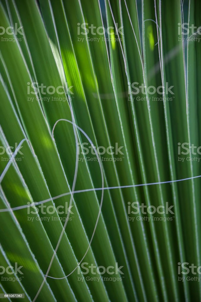 Close-up of green ribbed palm leaf royalty-free stock photo