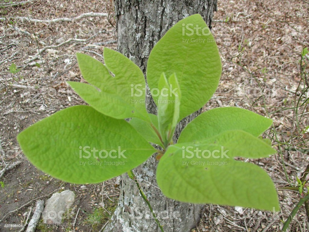 Close-up of Green Sassafras Plant Growing in Park stock photo