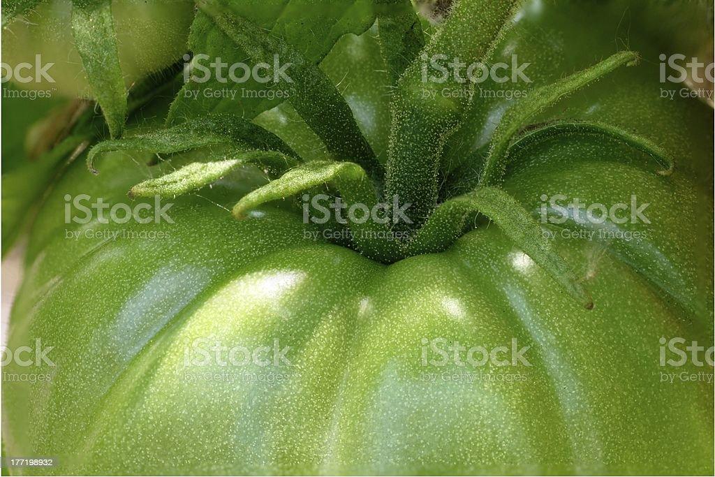 closeup of green tomatoe on plant royalty-free stock photo