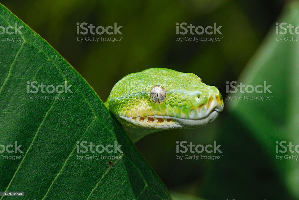 Close-up of Green Tree Python head royalty-free stock photo