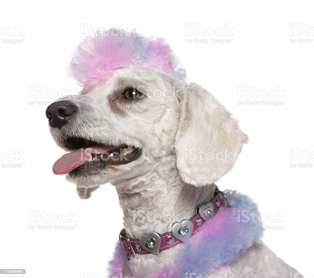 Close-up of Groomed poodle with pink and purple mohawk, panting. royalty-free stock photo