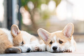 istock Closeup of group lovely, cute corgi dog puppies lying, relaxing and sleeping in summer sunny day 1134704507