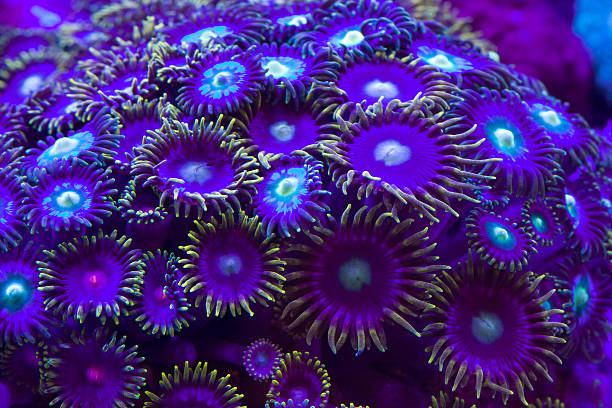 Close-up of group of violet reef coral stock photo