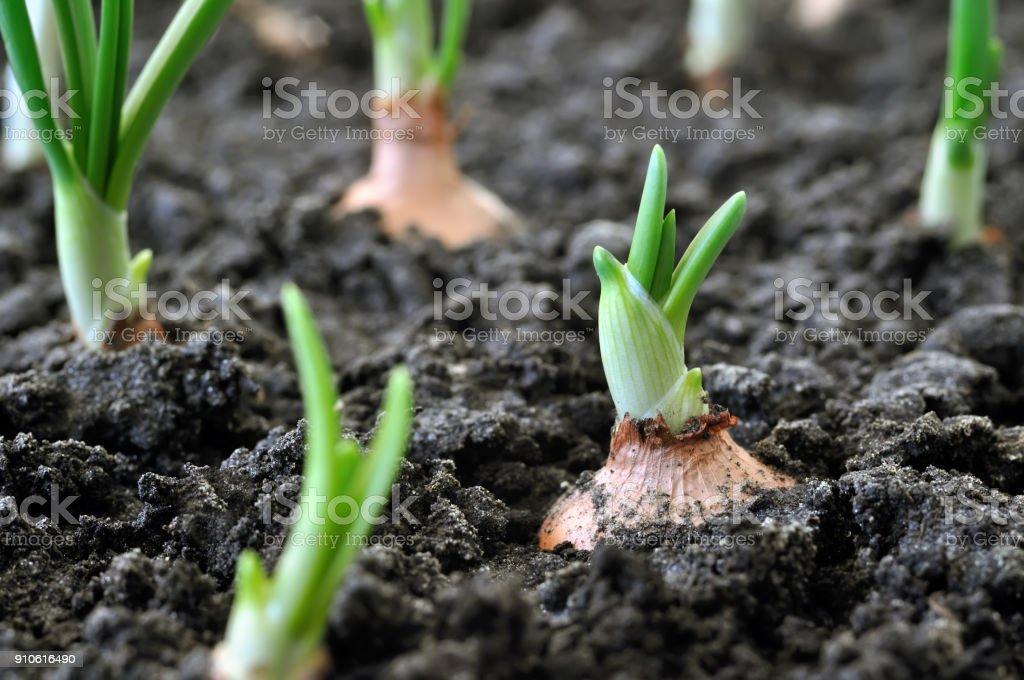 primer plano de la creciente plantación de cebolla - foto de stock
