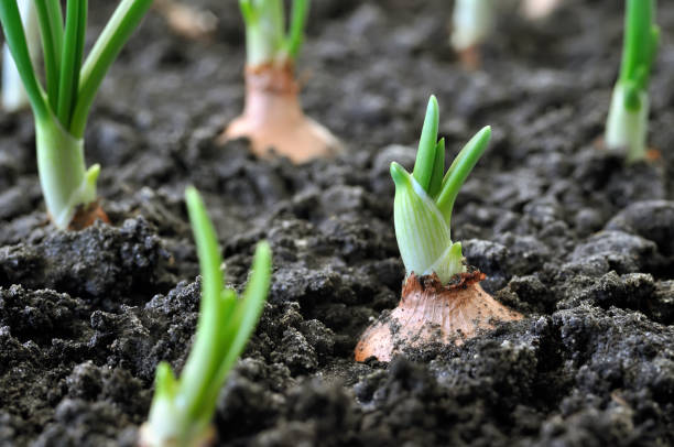 close-up of growing onion plantation - organic farm stock photos and pictures