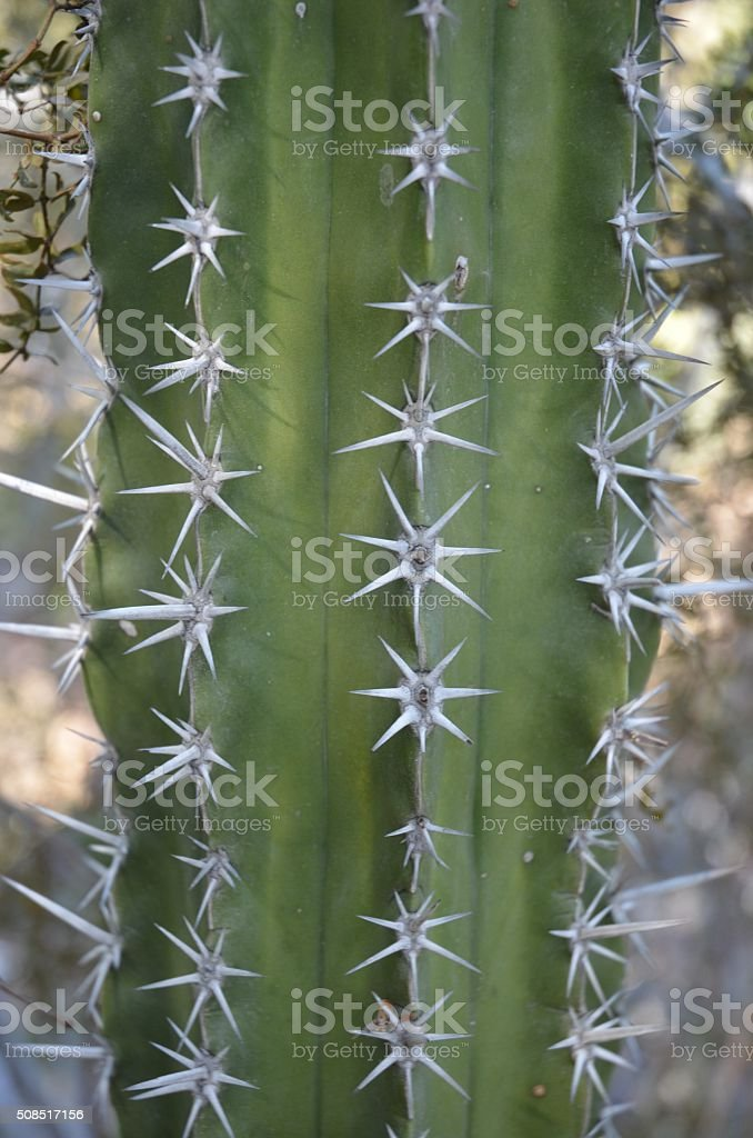Close-up of Hair Brush Cactus Spines stock photo