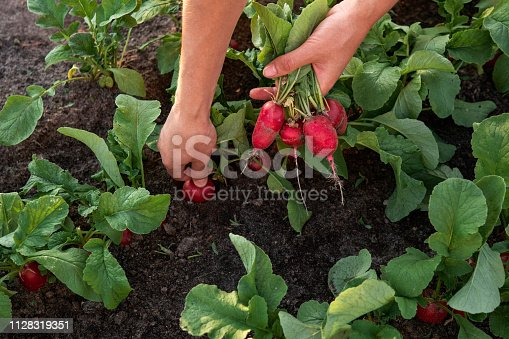 Close-up of woman farmer hand picking radish on the vegetable garden. Organic farming concept