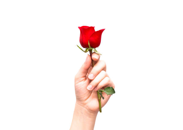 close-up of hand holding a red rose. close-up of hand holding a red rose, isolated on white background stock photo